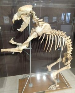 A cave bear skeleton in a museum
